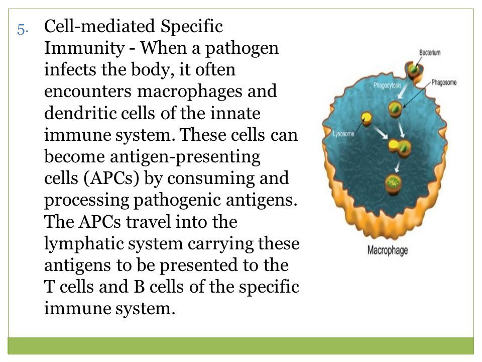 Cell-mediated Specific Immunity - When a pathogen infects the body, it often encounters macrophages and dendritic cells of the innate immune system.