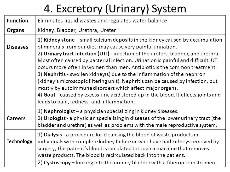 4. Excretory (Urinary) System
