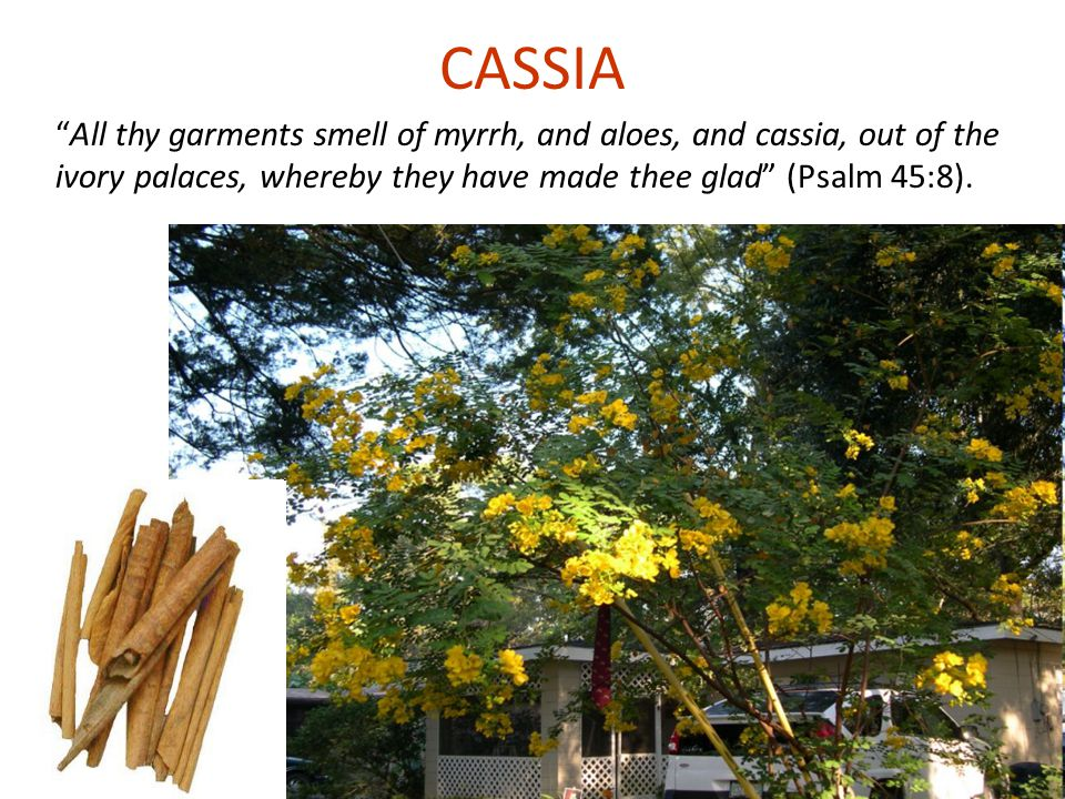 CASSIA All thy garments smell of myrrh, and aloes, and cassia, out of the ivory palaces, whereby they have made thee glad (Psalm 45:8).