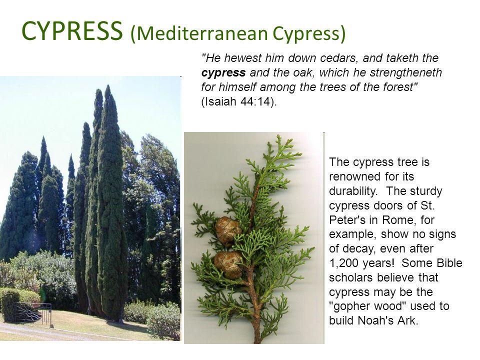 CYPRESS (Mediterranean Cypress)