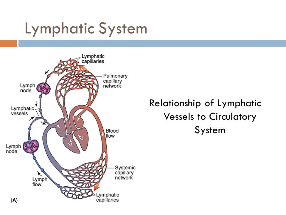 Relationship of Lymphatic Vessels to Circulatory System