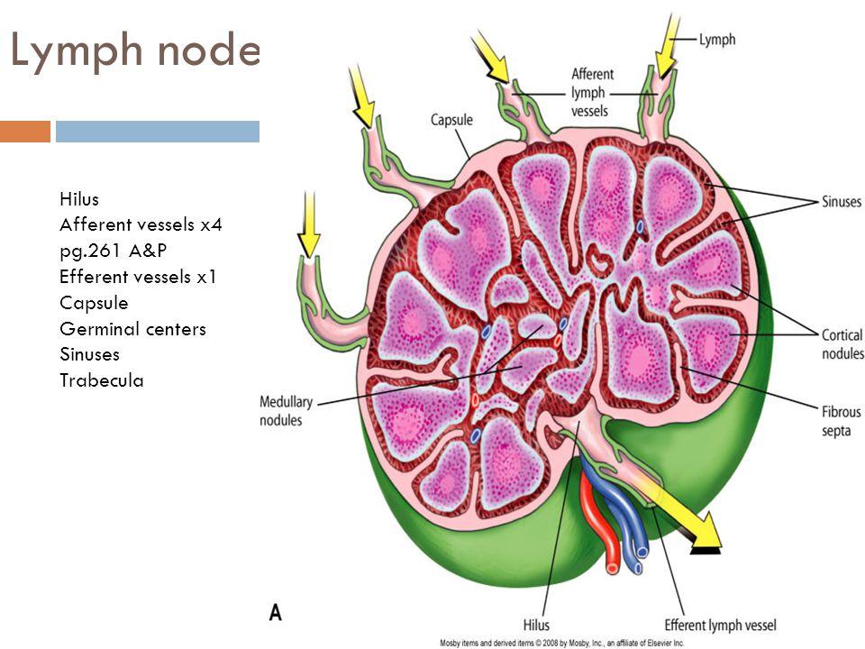 Lymph node Hilus Afferent vessels x4 pg.261 A&P Efferent vessels x1