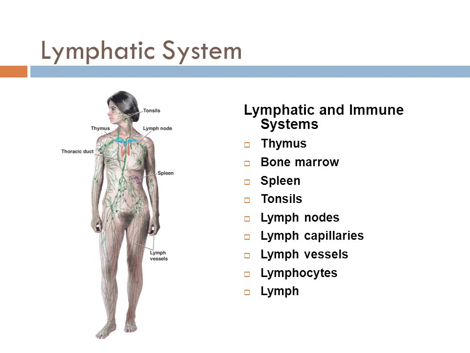Lymphatic System Lymphatic and Immune Systems Thymus Bone marrow