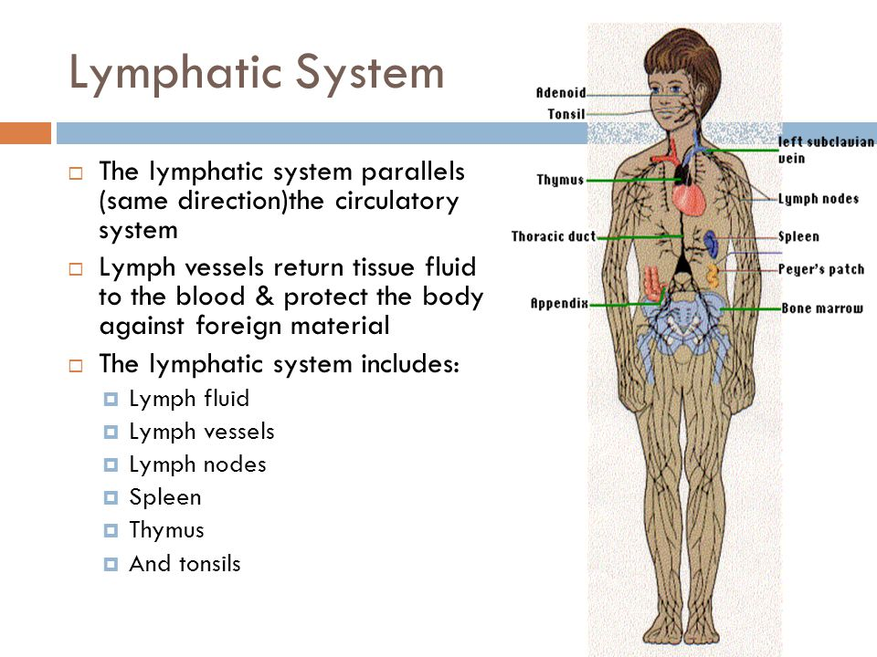Lymphatic System The lymphatic system parallels (same direction)the circulatory system.