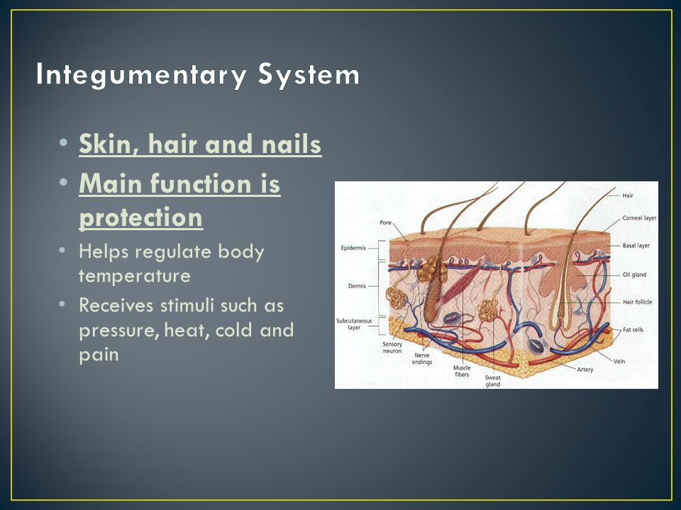 Integumentary System Skin, hair and nails Main function is protection