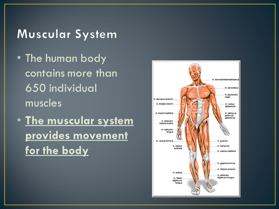 Muscular System The human body contains more than 650 individual muscles.