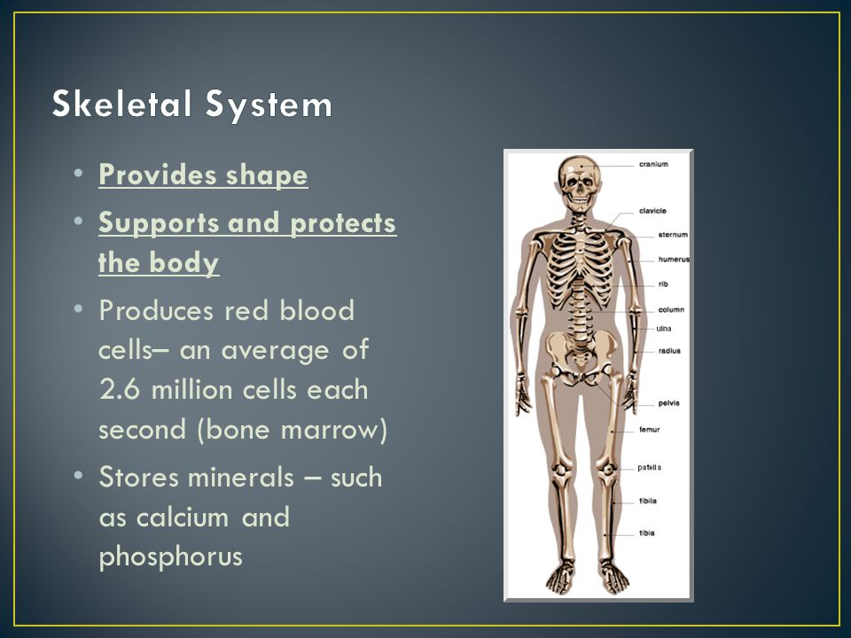 Skeletal System Provides shape Supports and protects the body