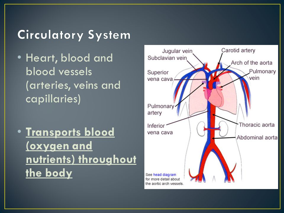 Circulatory System Heart, blood and blood vessels (arteries, veins and capillaries) Transports blood (oxygen and nutrients) throughout the body.