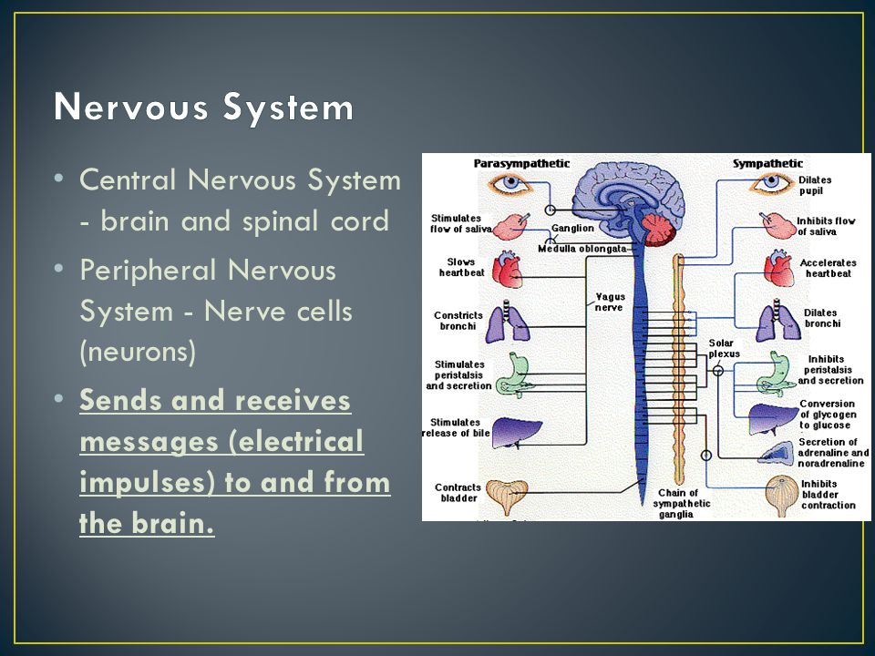 Nervous System Central Nervous System - brain and spinal cord