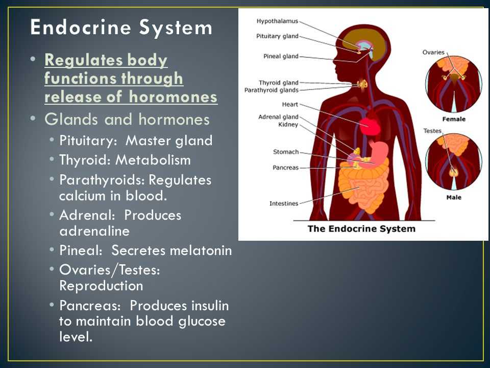 Endocrine System Regulates body functions through release of horomones