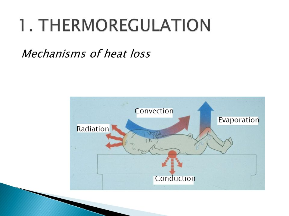 1. THERMOREGULATION Mechanisms of heat loss Convection Evaporation