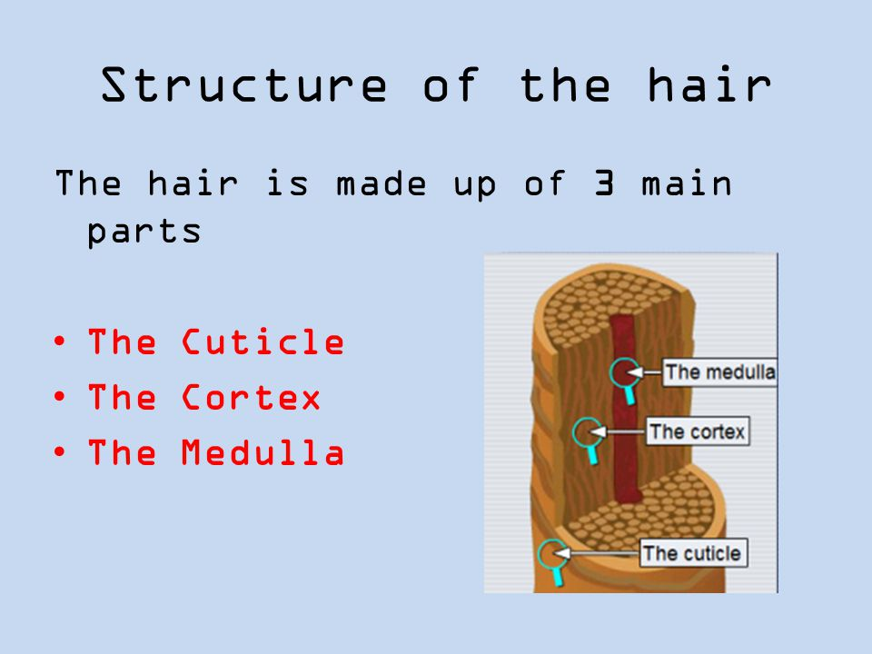 Structure of the hair The hair is made up of 3 main parts The Cuticle