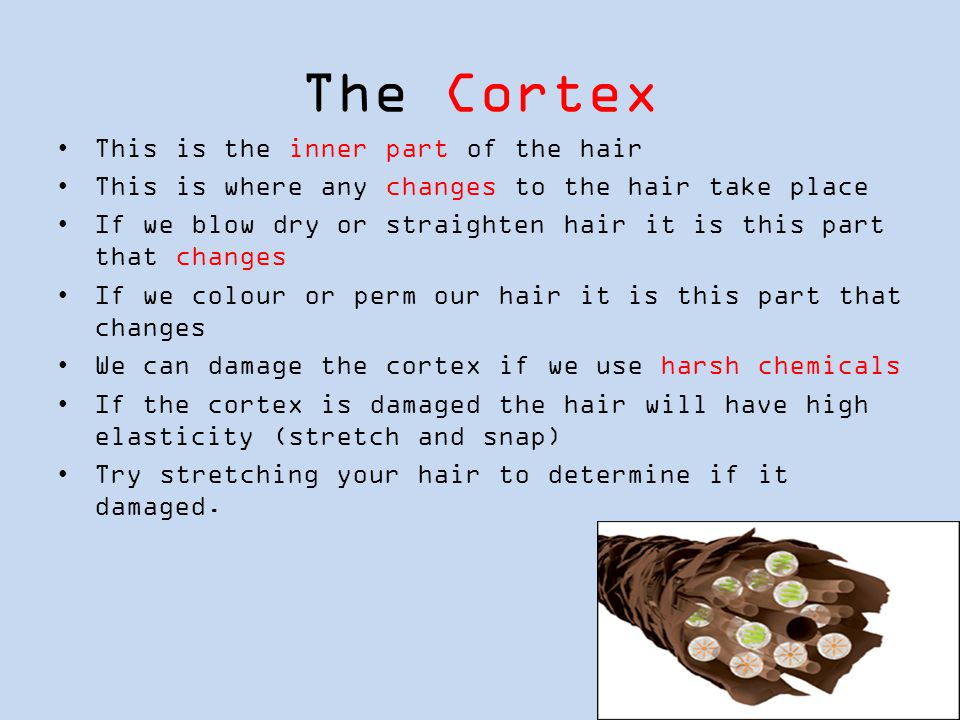 The Cortex This is the inner part of the hair