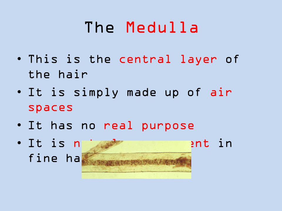 The Medulla This is the central layer of the hair