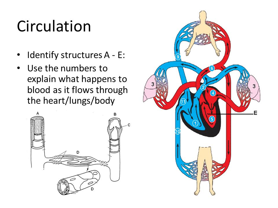 Circulation Identify structures A - E: