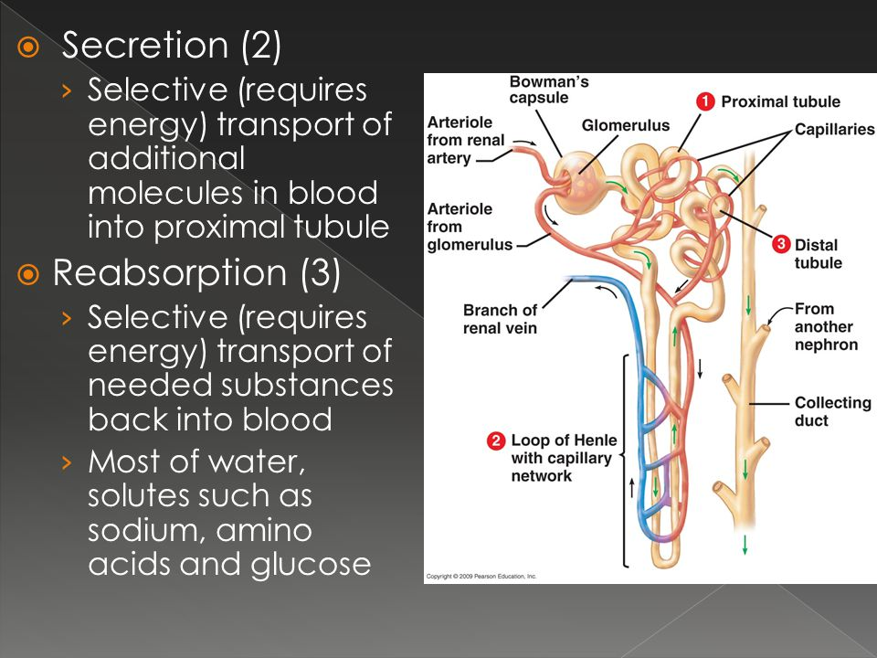 Secretion (2) Reabsorption (3)