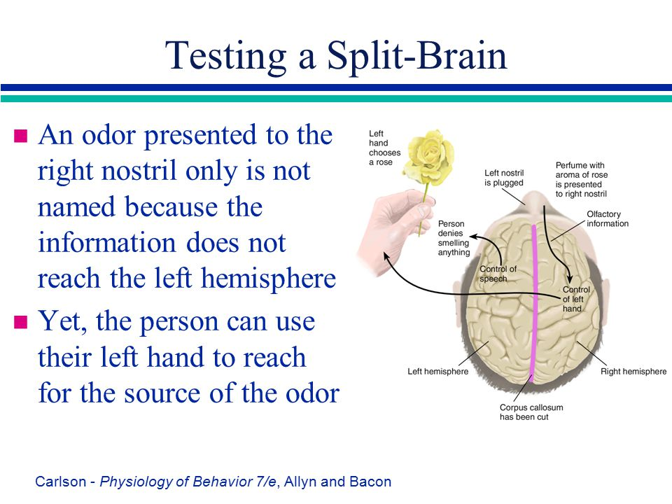 Testing a Split-Brain An odor presented to the right nostril only is not named because the information does not reach the left hemisphere.
