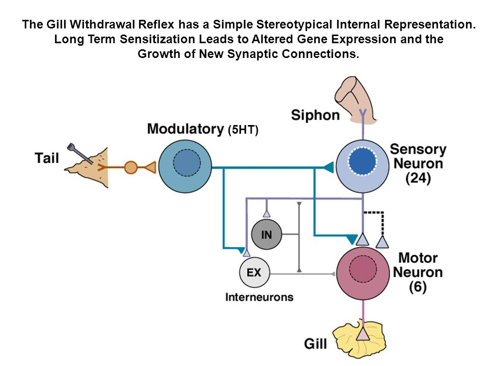 Long Term Sensitization Leads to Altered Gene Expression and the