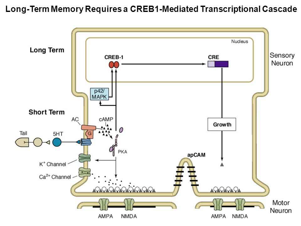 Long-Term Memory Requires a CREB1-Mediated Transcriptional Cascade