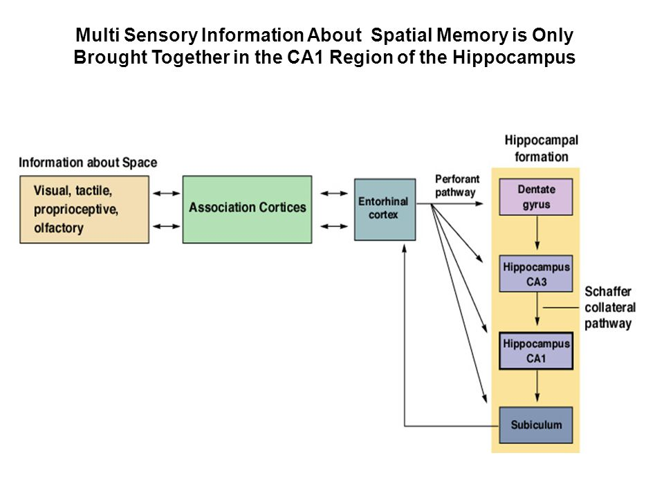 Multi Sensory Information About Spatial Memory is Only Brought Together in the CA1 Region of the Hippocampus