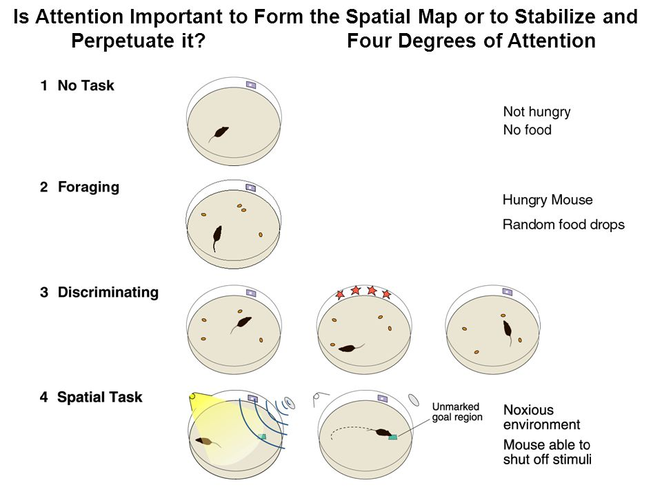 Is Attention Important to Form the Spatial Map or to Stabilize and