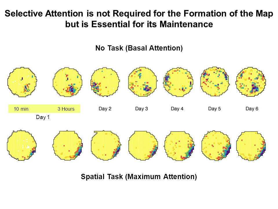 No Task (Basal Attention) Spatial Task (Maximum Attention)