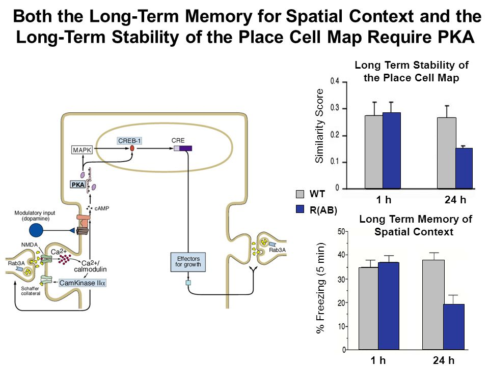 Both the Long-Term Memory for Spatial Context and the Long-Term Stability of the Place Cell Map Require PKA