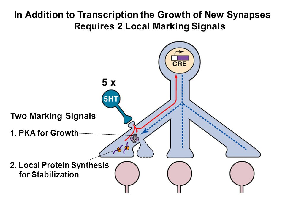 Local Protein Synthesis is Required to Stabilize the