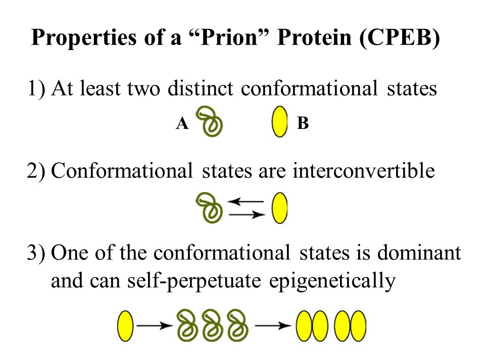 Properties of a Prion Protein (CPEB)