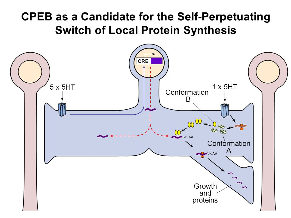 CPEB as a Candidate for the Self-Perpetuating Switch of Local Protein Synthesis