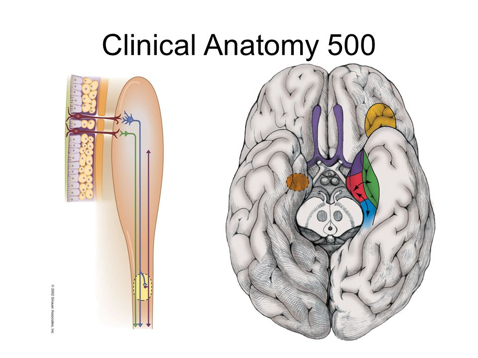Clinical Anatomy 500