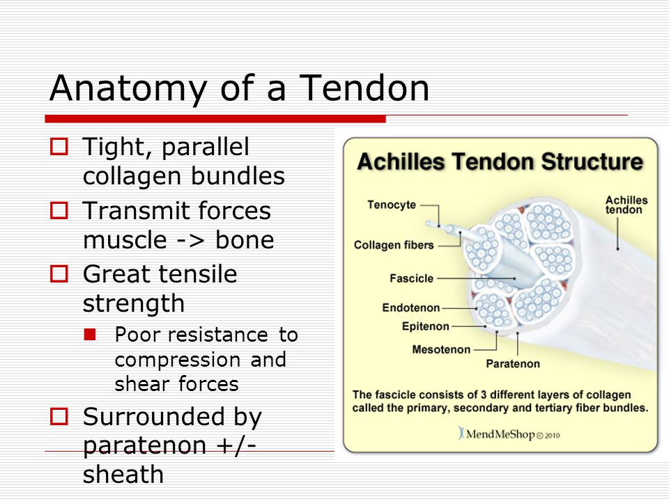 Anatomy of a Tendon Tight, parallel collagen bundles