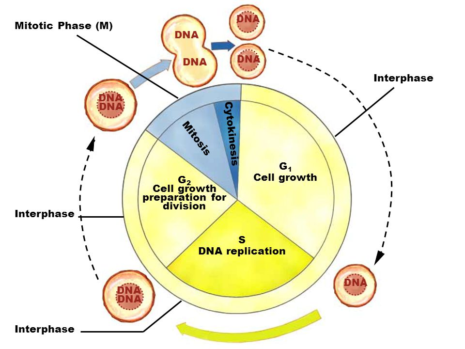 G2 Cell growth preparation for division