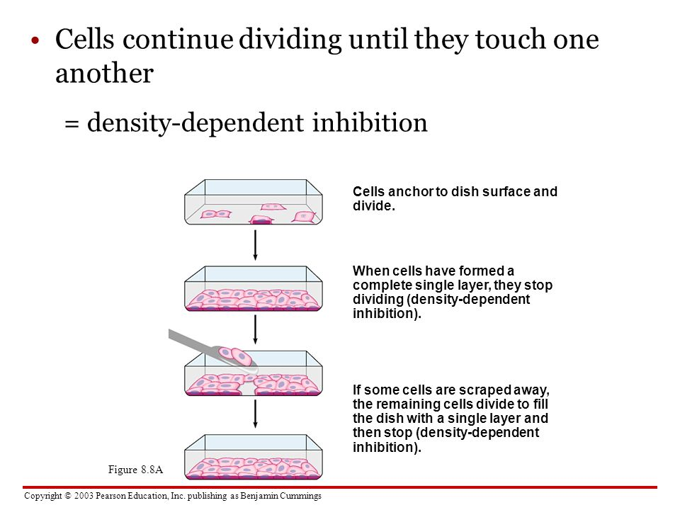 Cells continue dividing until they touch one another