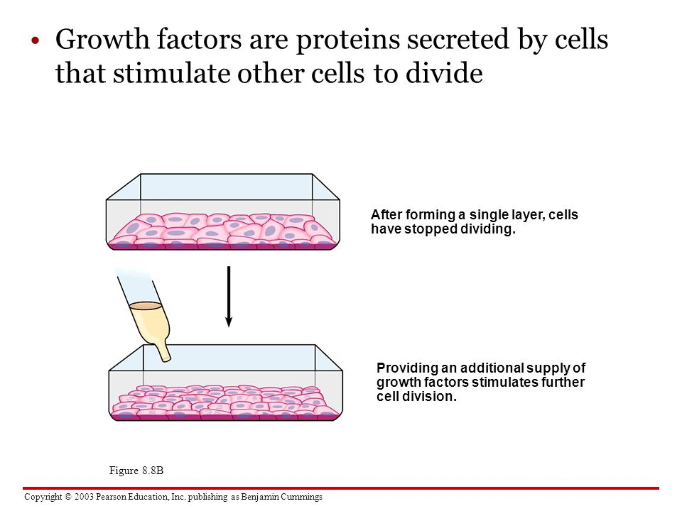 Growth factors are proteins secreted by cells that stimulate other cells to divide