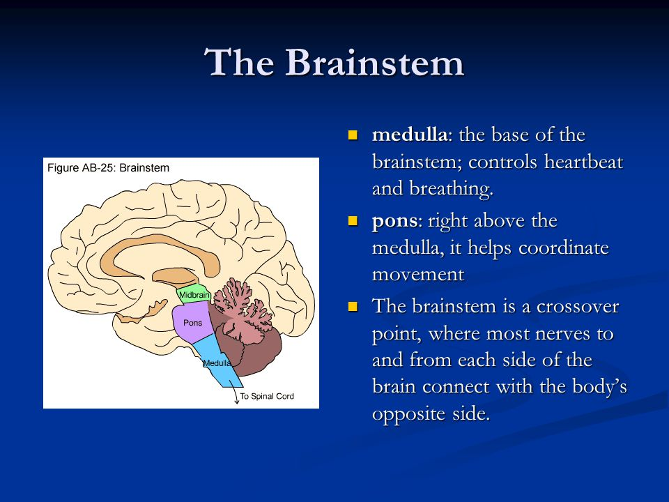 The Brainstem medulla: the base of the brainstem; controls heartbeat and breathing. pons: right above the medulla, it helps coordinate movement.