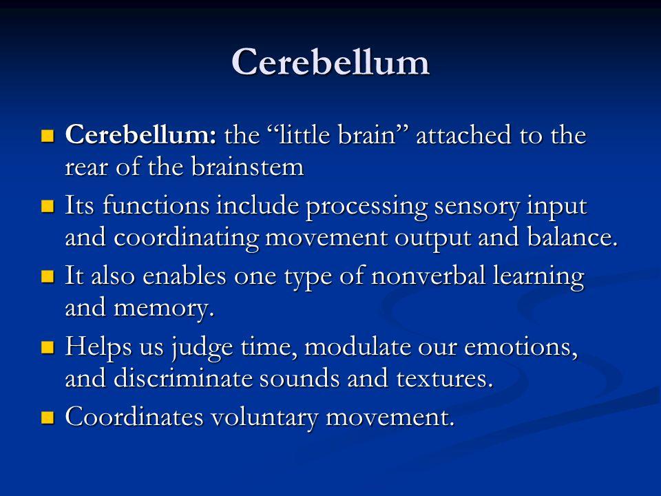 Cerebellum Cerebellum: the little brain attached to the rear of the brainstem.