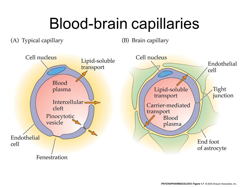 Blood-brain capillaries