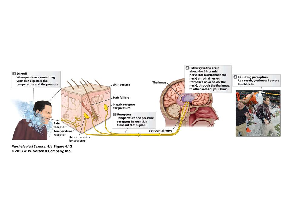 Figure 4.12 How We Experience Touch: The Haptic Sense