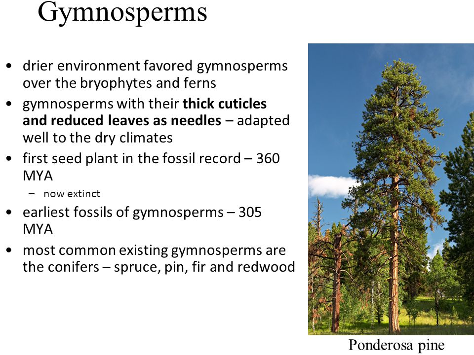 Gymnosperms drier environment favored gymnosperms over the bryophytes and ferns.