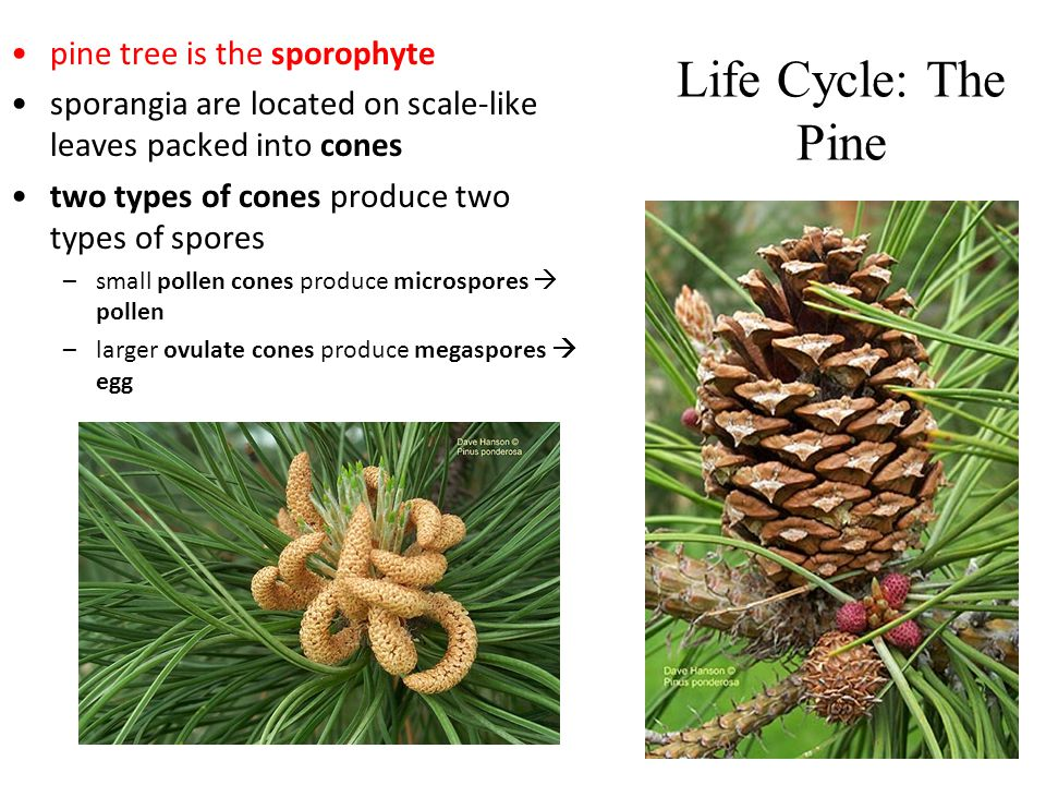 Life Cycle: The Pine pine tree is the sporophyte