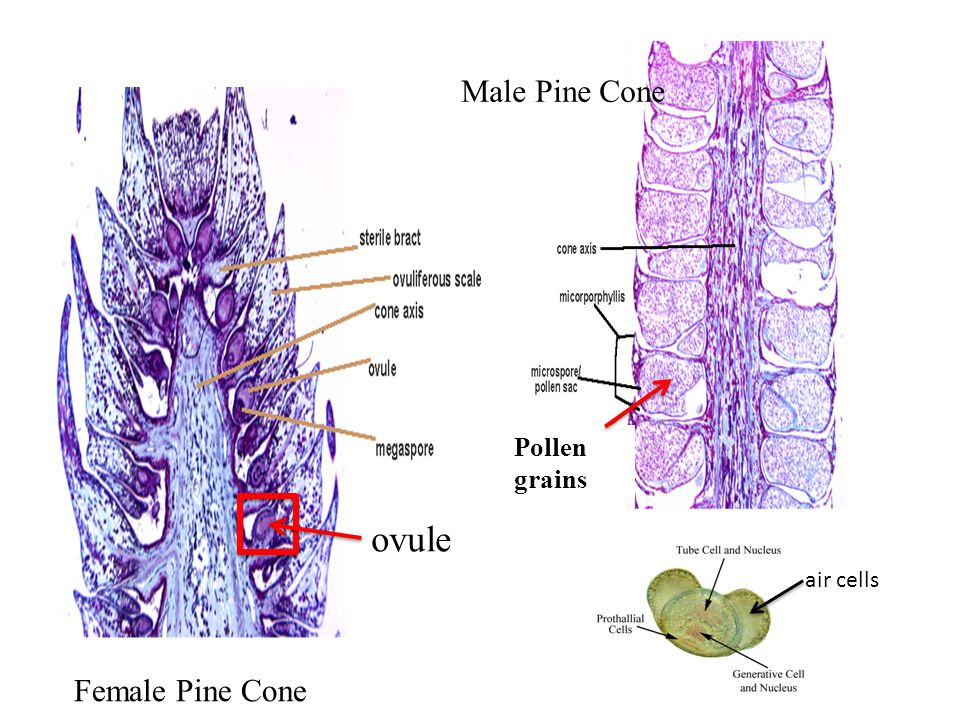 Pollen grains Male Pine Cone ovule air cells Female Pine Cone