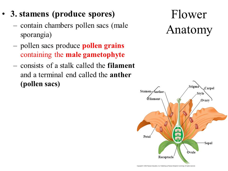 Flower Anatomy 3. stamens (produce spores)