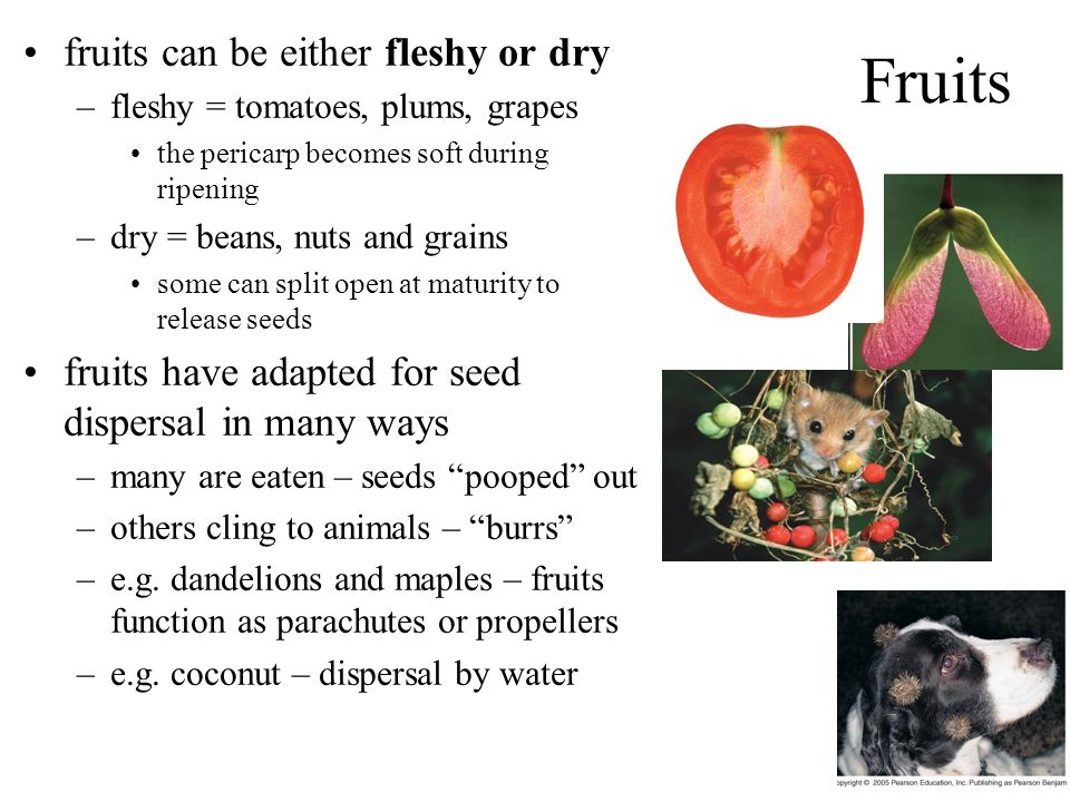 Fruits fruits can be either fleshy or dry