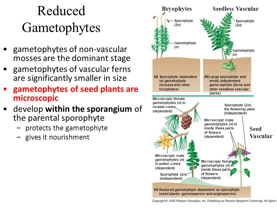 Reduced Gametophytes Sporophyte. (2n) Gametophyte. (n) Sporophyte dependent on gametophyte (mosses and other bryophytes)