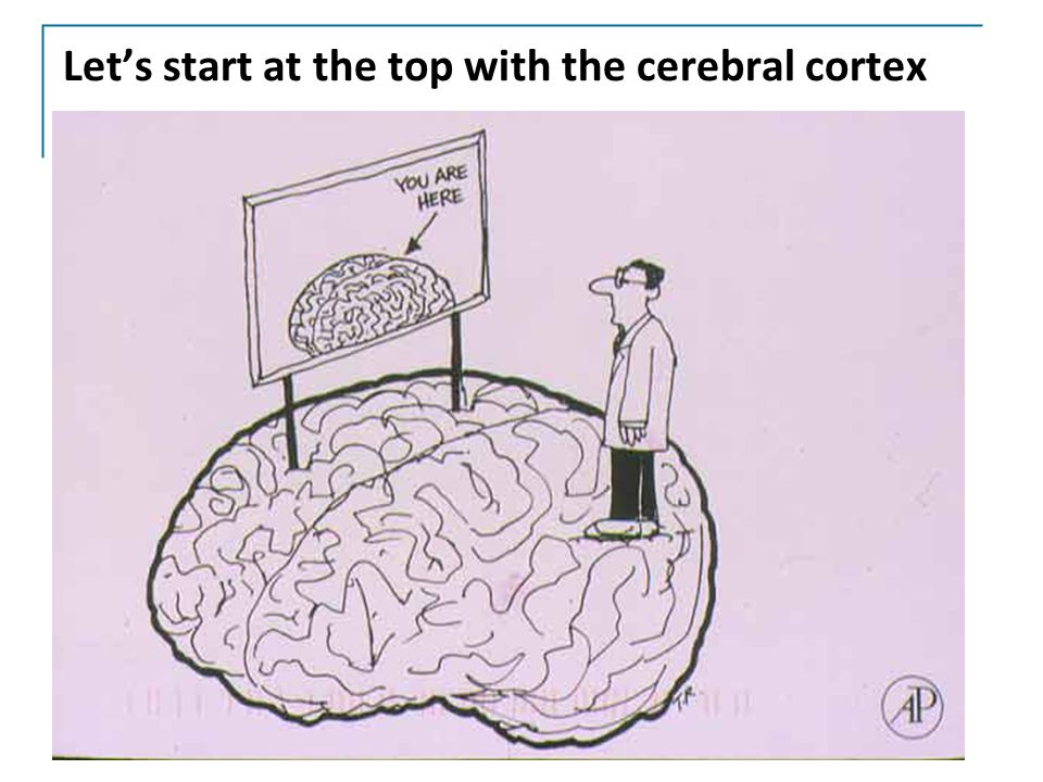 Let's start at the top with the cerebral cortex