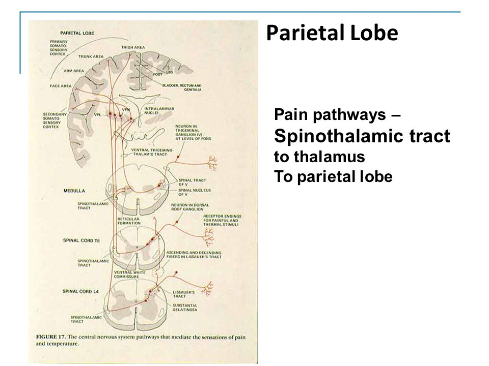Parietal Lobe Spinothalamic tract Pain pathways – to thalamus