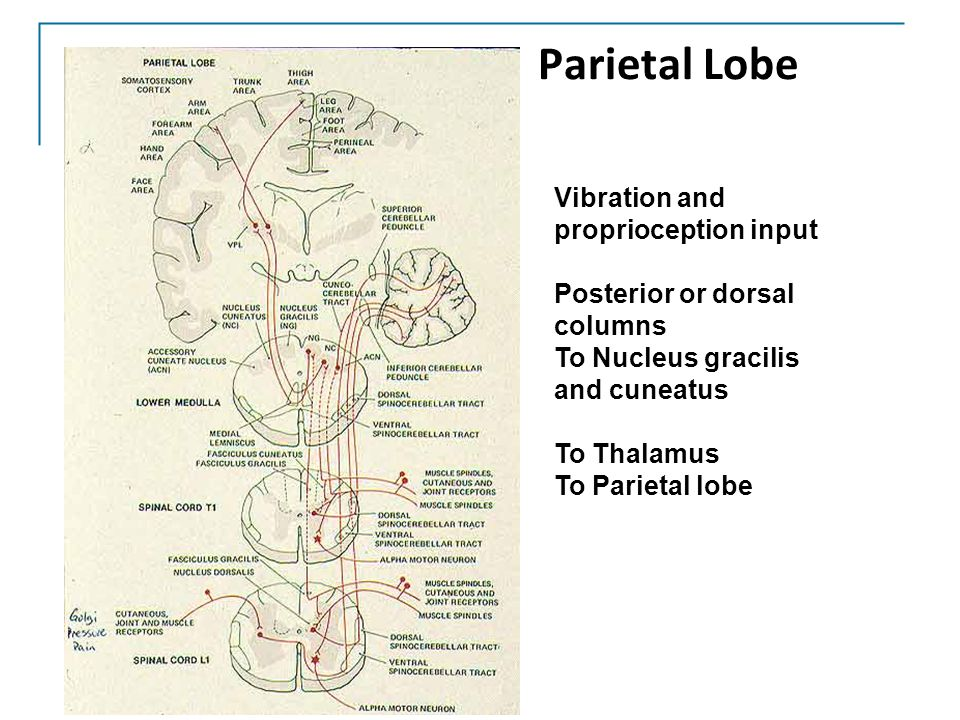 Parietal Lobe Vibration and proprioception input