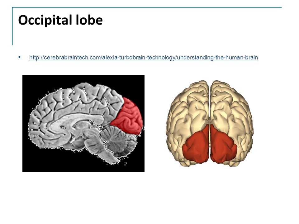 Occipital lobe http://cerebrabraintech.com/alexia-turbobrain-technology/understanding-the-human-brain.
