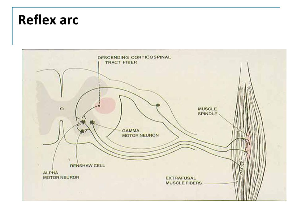 Reflex arc This is just to remind you about the monosynaptic muscle stretch reflex.